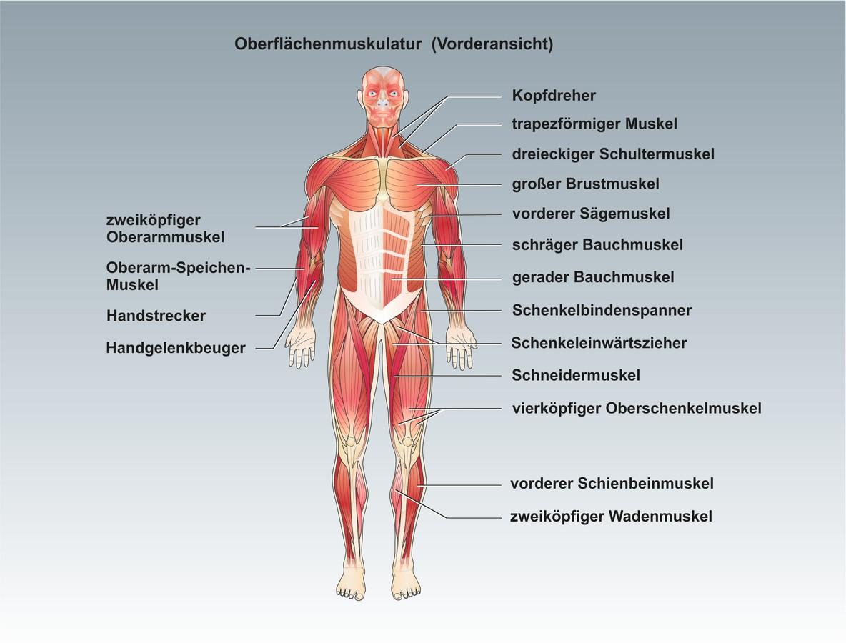 Menschenkunde: Unterrichtssoftware Die Muskulatur