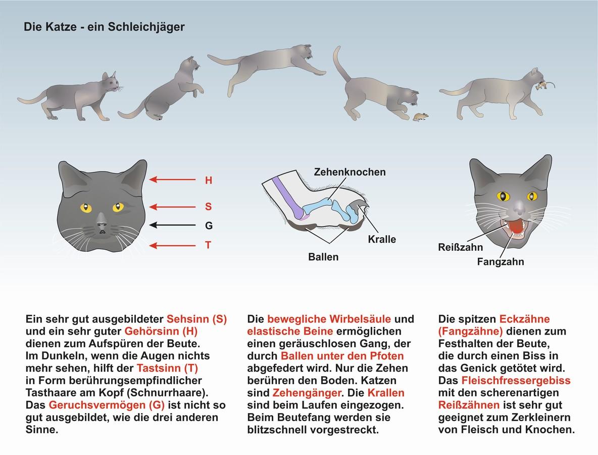 UnterrichtsSoftware Biologie: UnterrichtsSoftware Die Katze