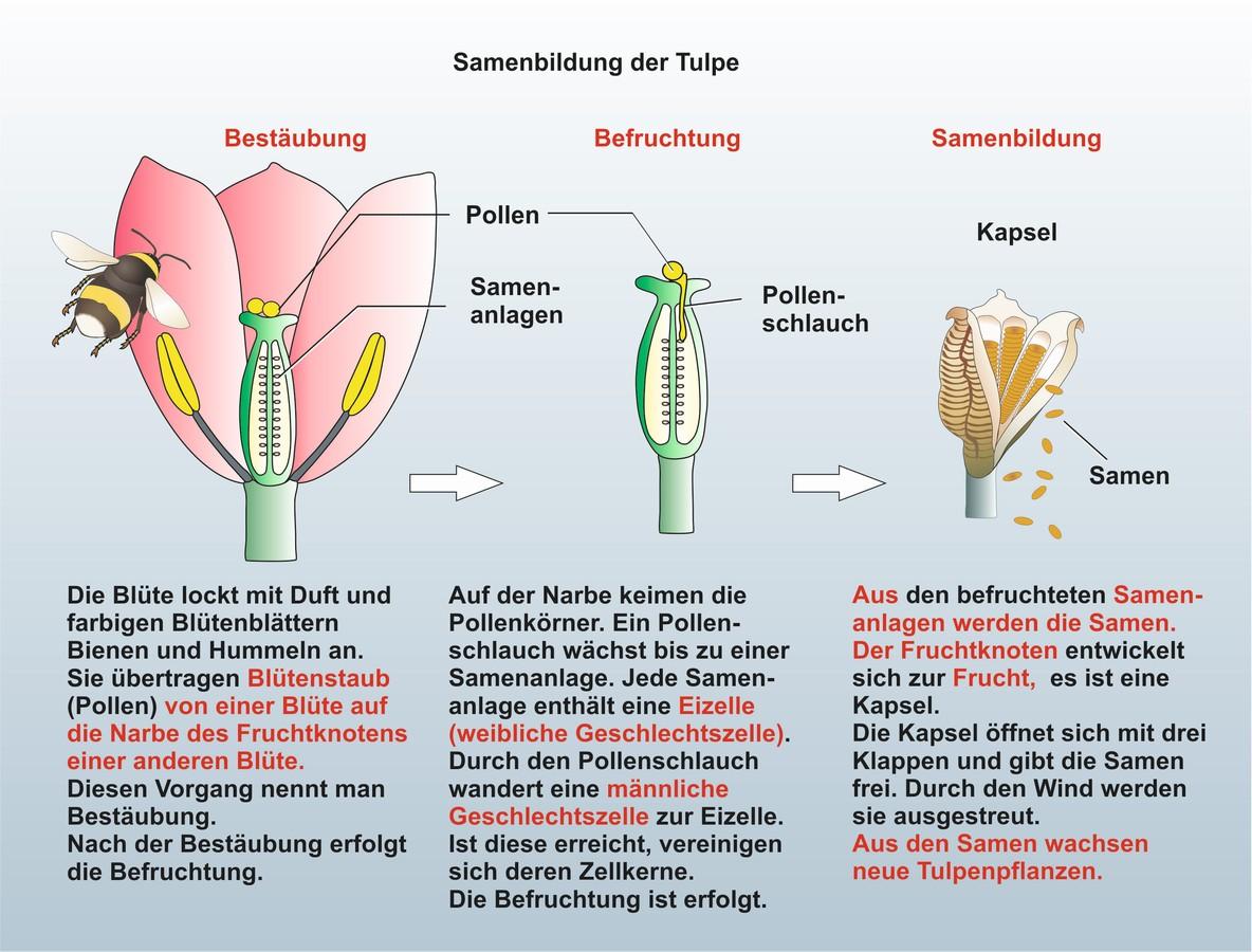 unterrichtssoftware biologie unterrichtssoftware die tulpe