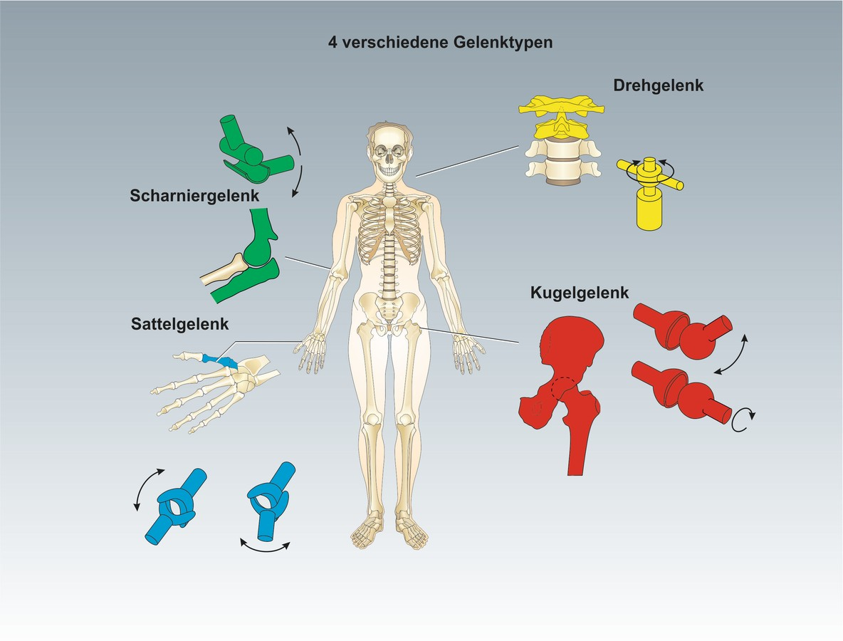 unterrichtssoftware biologie unterrichtssoftware das skelett. Black Bedroom Furniture Sets. Home Design Ideas